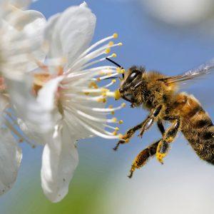 Foto einer Biene an einer Blüte. Das Bild ist im Rahmen vom Fotowettbewerb der Stadt Darmstadt eingegangen, der in Zeiten der Corona-Pandemie gestartet wurde. Er soll den Blick auf die nahegelegenen Naturschönheiten stärken.